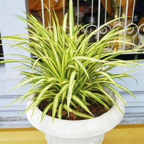 Impressionnant Plante D Interieur Plein Soleil #3: Chlorophytum-plante-carre-main-12220876.jpg