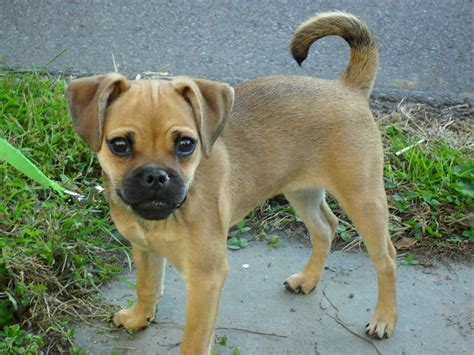 pug russel pug mix www imgkid the image kid has it