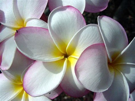 Hawaiian Flower Wallpapers Wallpaper Cave Hawaiian Flower Backgrounds