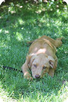 scotia golden retriever rescue golden retriever scotia duck tolling retriever mix puppy for adoption in bedford