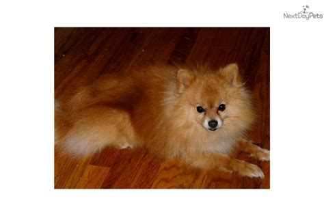 pomeranian breeders south west pomeranian puppy for sale puppy profile breeds picture