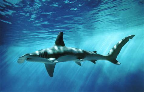 baby shark hd the hammerhead shark the wildlife