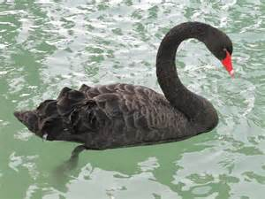 black swan animal insect photos ask believe receive