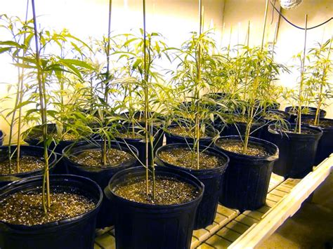 how to grow a plant in my room indoor marijuana grow room tips tricks green cultured elearning solutions