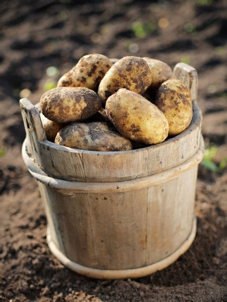 Potatoes Meaning by Potatoes Highdefinition Picture 2 Free Stock Photos In