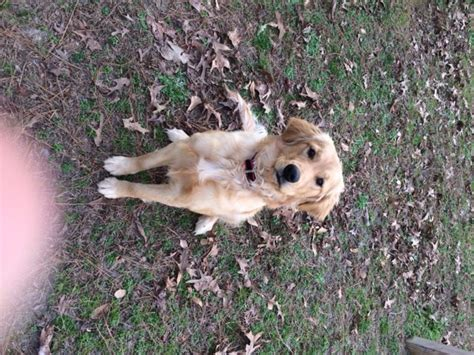 golden retriever puppies for sale in nc view ad golden retriever puppy for sale carolina