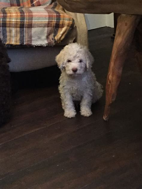 Lagotto Romagnolo Dogs For Sale Belper Derbyshire Pets4homes