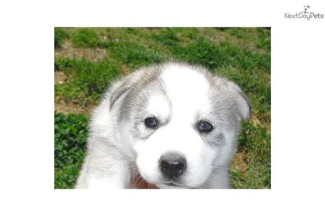 husky puppies nj meet a siberian husky puppy for sale for 800