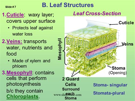 cross section of a leaf parts and functions cross section of a leaf parts and functions 28 images