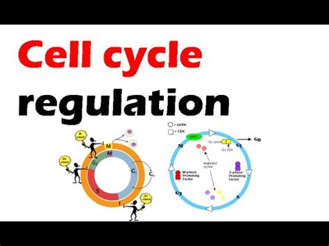 section 5 3 regulation of the cell cycle cell cycle regulation youtube