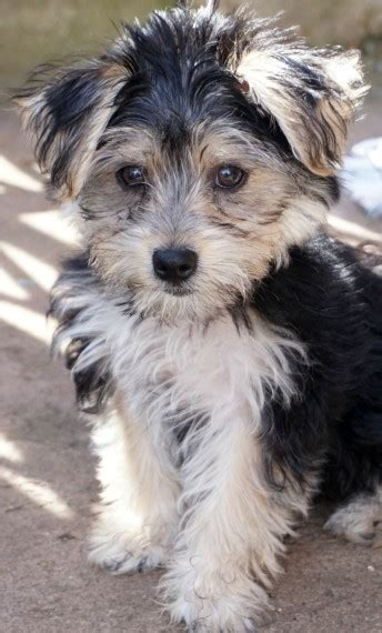yorkie wanted cross maltese yorkie morkie wanted to leeds west pets4homes