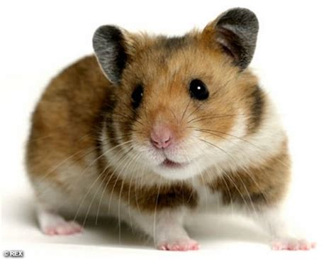 types of hamsters types of everything