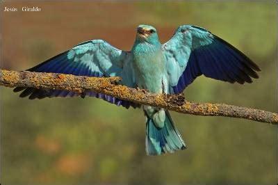 aves de europa todas las aves europeas en 1700 ilustraciones libro gratis descargar diario p 250 blico