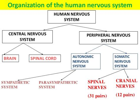 flow diagram of nervous system coordination response part 1 the nervous system