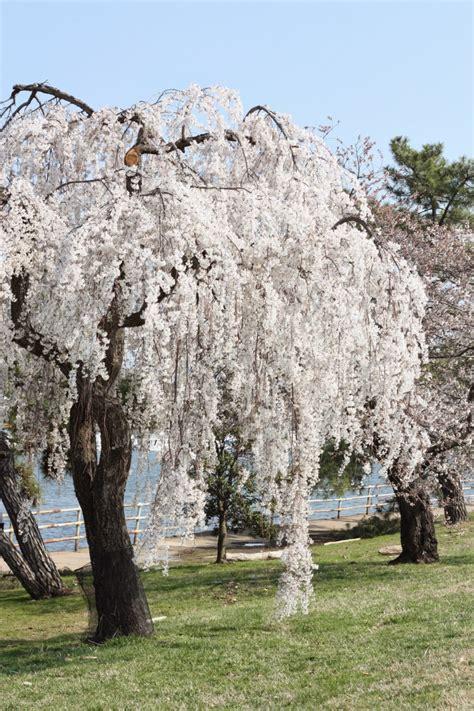 1 cherry tree washington dc cherry blossom 2015 http refreshrose
