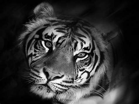 black and white tiger wallpaper image detail for free tiger black and white wallpaper