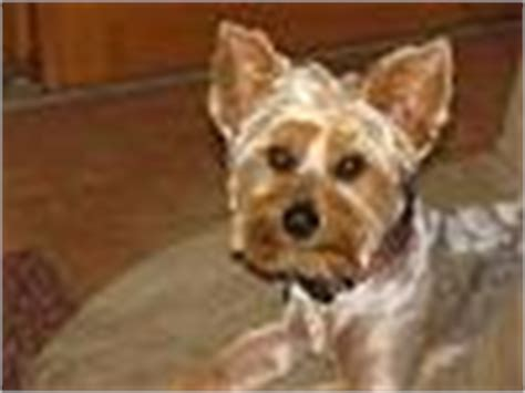 types of yorkie cuts types of yorkie haircuts page 2 yorkietalk forums terrier community