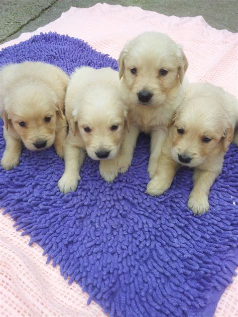 yochon puppies for sale yochon puppies for sale blackpool lancashire pets4homes breeds picture