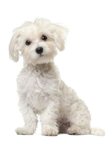 pictures of maltese dog haircuts 25 best ideas about maltipoo haircuts on pinterest