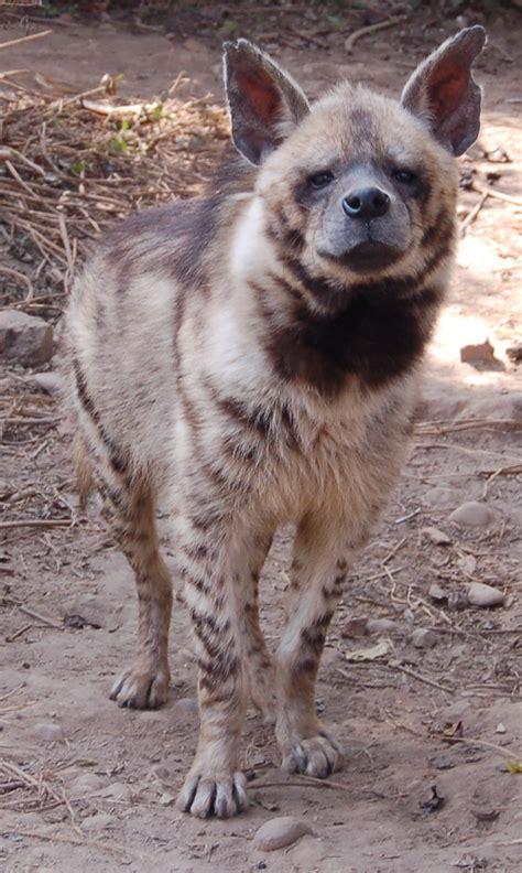 hyena cat or striped hyena animals photo 28882559 fanpop
