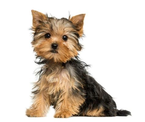 house a yorkie puppy house a terrier thriftyfun