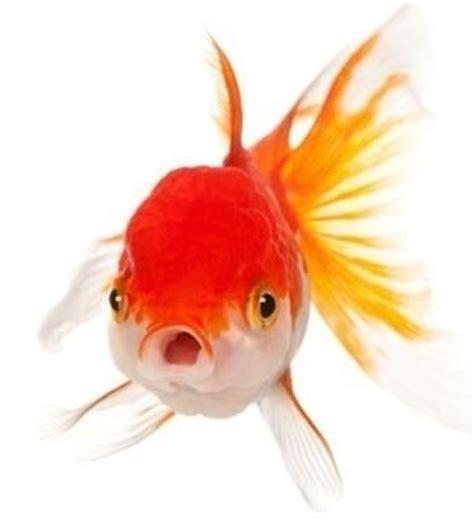 alimentazione pesci alimentazione pesci mangimi cibo per pesci