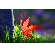 Macro Wallpaper Red Leaf  HD Desktop Wallpapers 4k