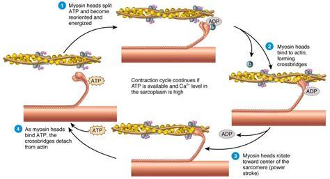 filament diagram ultrastructure of cells teachmeanatomy