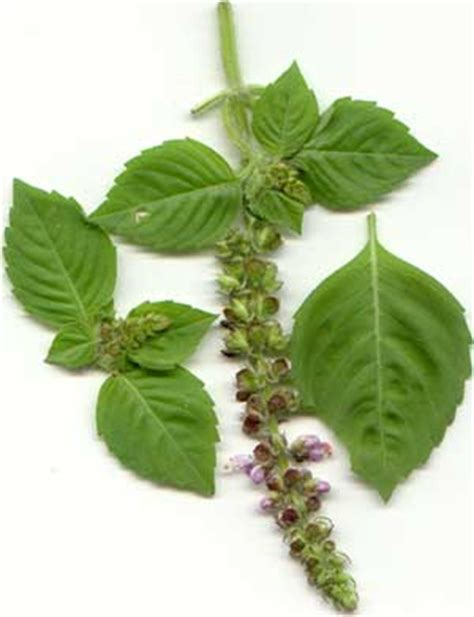 basil the strewing herb truly essential