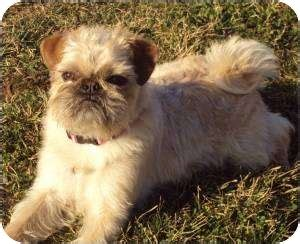 pug brussels griffon mix adopted puppy washburn mo pug brussels griffon mix