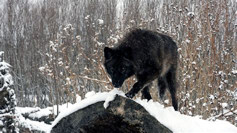 hd wallpapers 1920x1080 wolf black wolf wallpaper 64 images