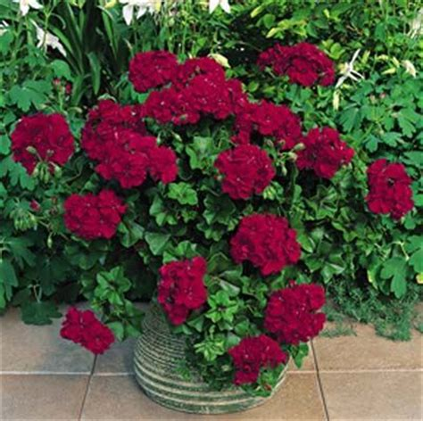 geranium freestyle burgundy height 6 12 quot in spread 24 36 quot in outdoors pinterest