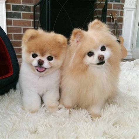 the pomeranian boo and buddy the pomeranian dogs puppies guilty and pomeranians