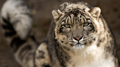 cat wallpaper hd pack snow leopard wallpapers hd pictures one hd wallpaper