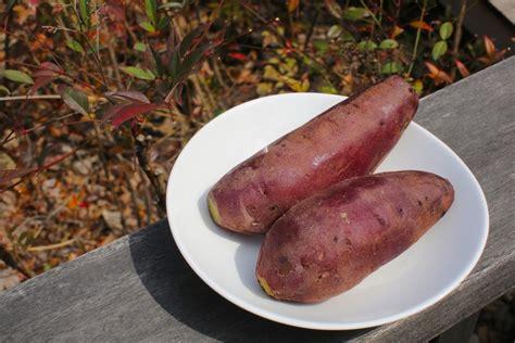 sweet potato wikipedia wiki sweet potato upcscavenger