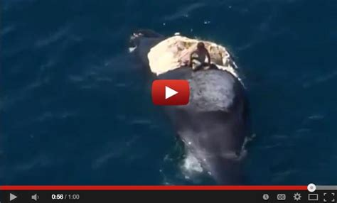 sinking boat surrounded by sharks idiot surfs dead whale surrounded by sharks