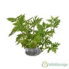 Benih Ginseng Jawa tanaman som jawa ginseng jawa bibitbunga