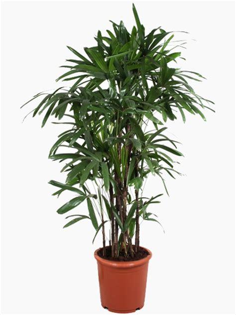 indoor plants uk indoor palms for sale online uk