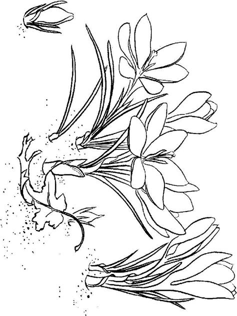crocus flower coloring page crocus coloring pages download and print crocus coloring