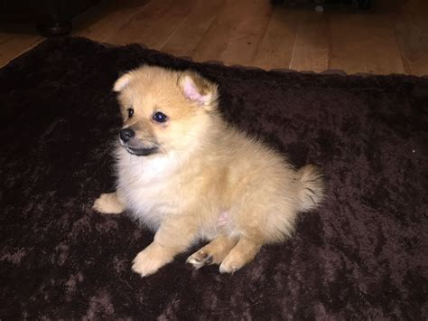 fluffy pomeranian puppies for sale uk 2 and fluffy pom puppies for sale 695 ono stoke on trent staffordshire
