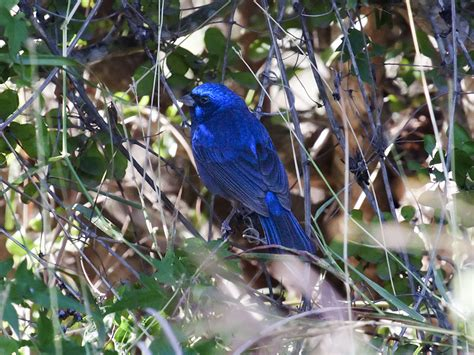 file blue bunting cyanocompsa parellina adult male jpg