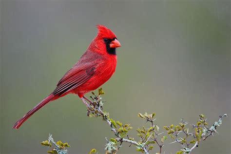 Cardinal Images