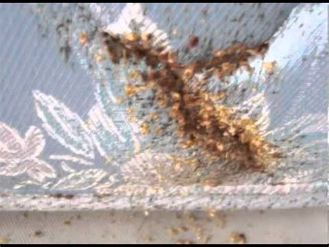 red bugs in bed tiny red bugs get rid of bed bugs permanently youtube