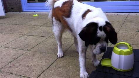 trixi bloem st bernard bloem and the quot trixie dog activity memory