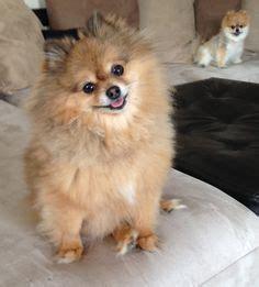 pomeranian harness 1000 images about pomeranians on pomeranians harness and pomeranian dogs