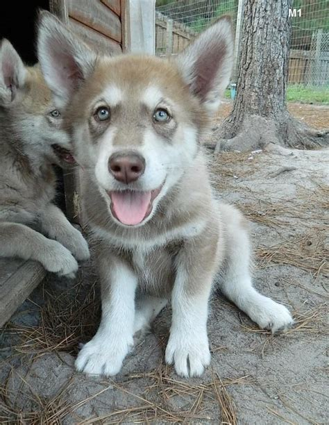 wolf hybrid puppies adoption best 20 wolf hybrid puppies ideas on