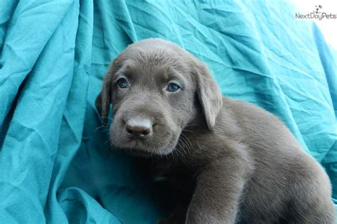 chocolate lab puppies for sale in missouri dogs and puppies for sale and adoption oodle marketplace