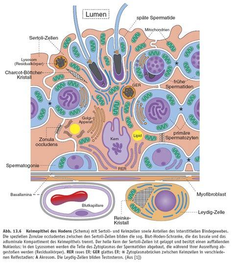 blut hoden schranke histologie hoden der maus spermatogonese und fluoreszenz