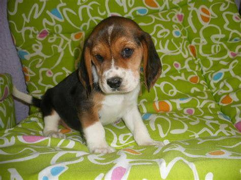 beagle puppies ta beagle sale ireland beagle puppies buy buy beagle breeders beagle dogs breed