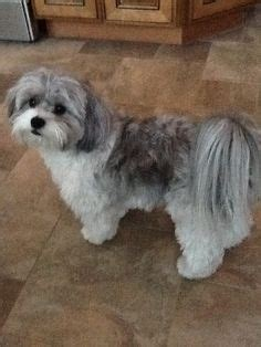 poodle shih tsu haircuts my baby poo shi puppy quot fibee quot furry fluffy pinterest